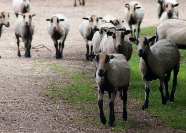 Many badgerfaced Welsh sheep can be seen trotting towards us along a path, they have black bellies and legs, black stripes and black ears, and are otherwise a sort of biscuity cream colour. In a group, they read as stripy things with legs.