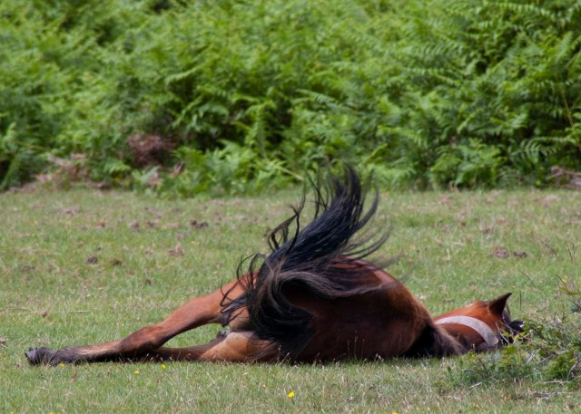 young foal lying on the grass and flicking its tail to ward off annoying flies.