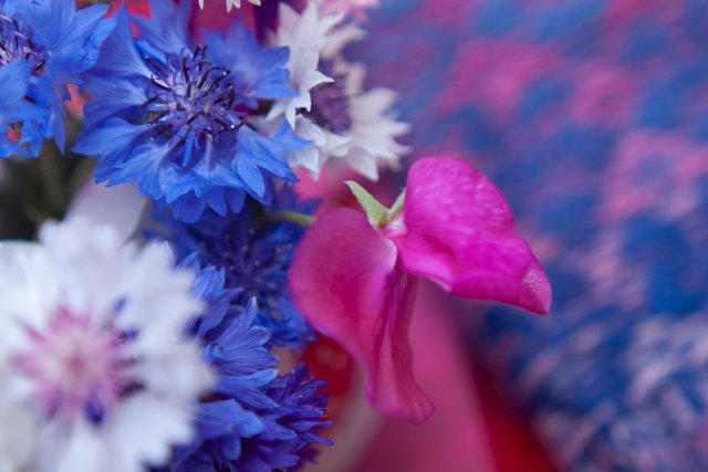 Cornflowers and current knitting project, perfectly co-ordinated in blues and pinks