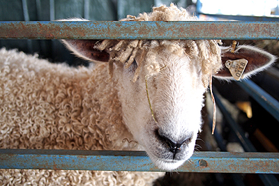 11nysswf_sheep2_large