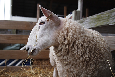 12mdsw_sheep2_large