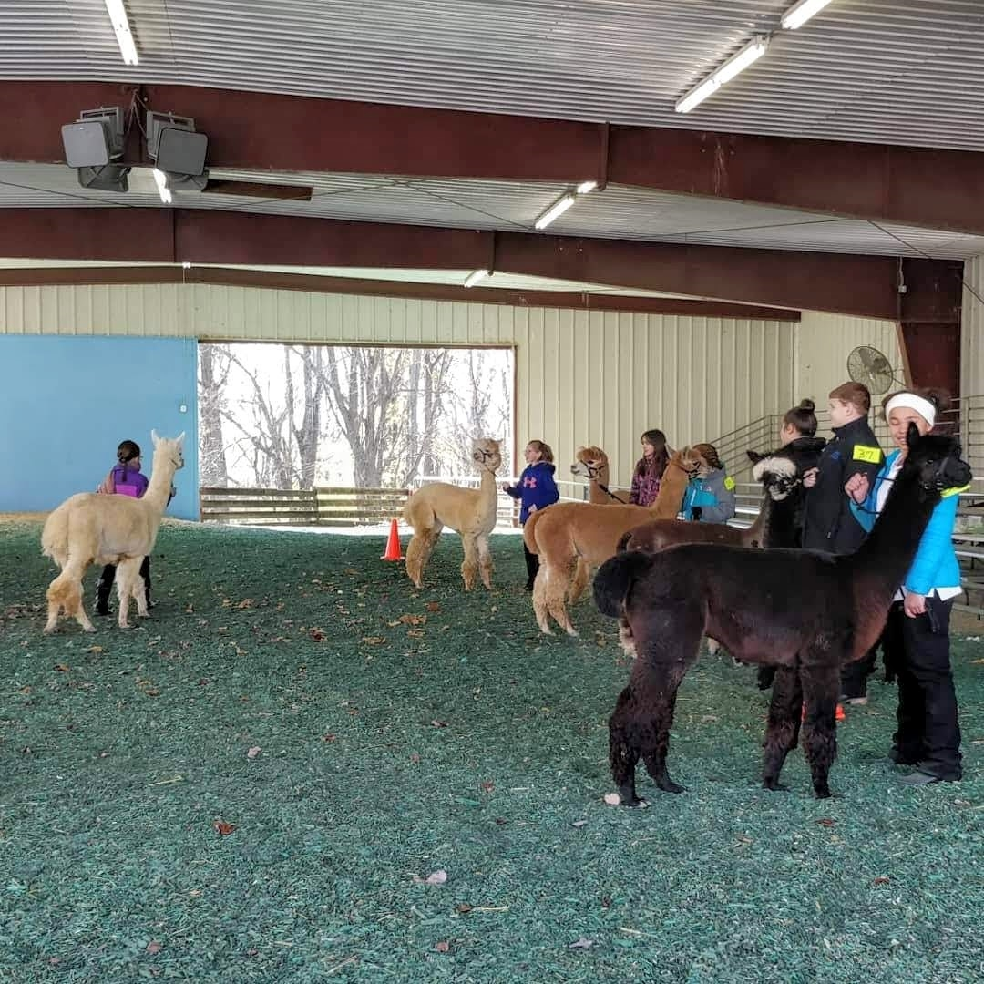 Children hold alpacas in a line, while one is brought forward for judging.