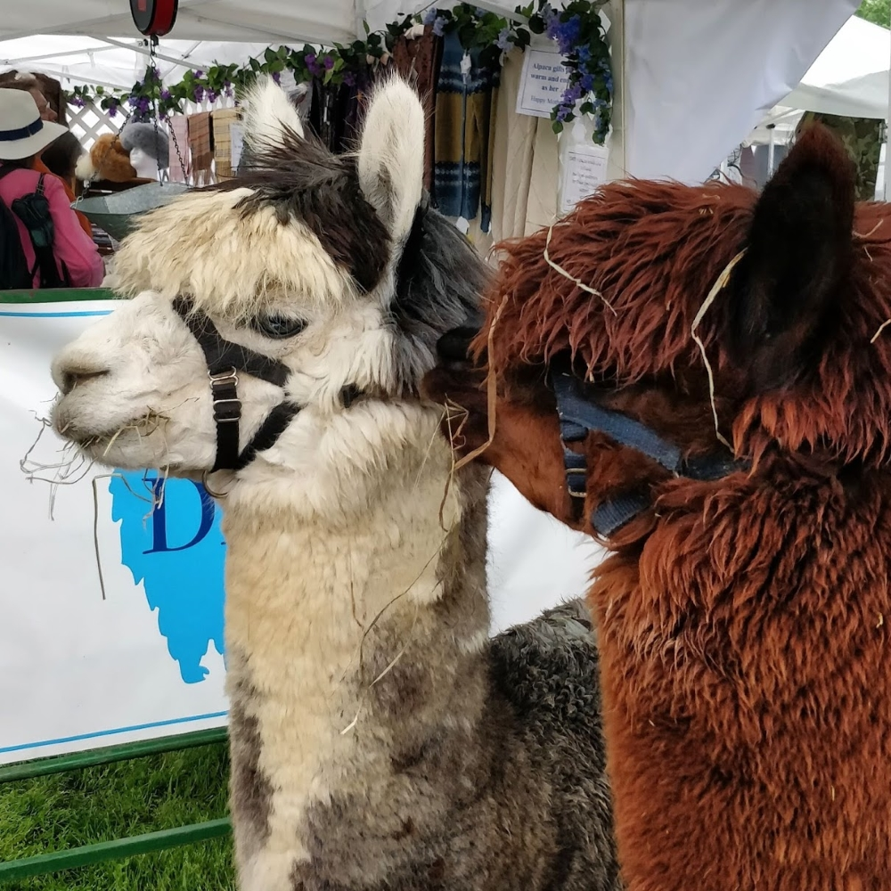 A brown alpaca appears to be whispering into the ear of a black-and-white alpaca. Both of them have some hay hanging from their mouths.