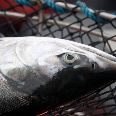 A close-up view of a silver salmon, caught in a net.