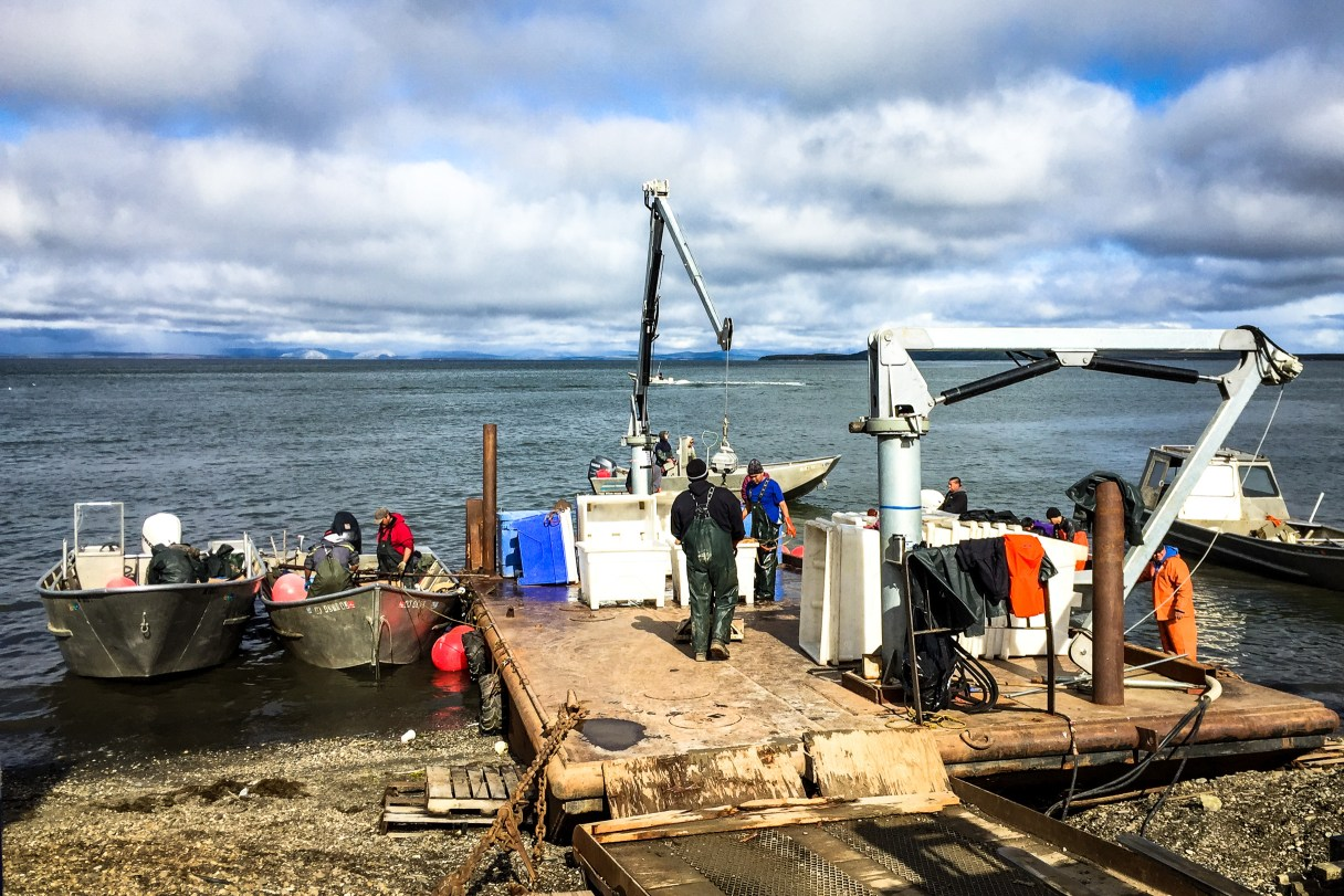 Commercial fishermen delivering chum salmon in Kotzebue. Photo: Hilary Upicksoun.