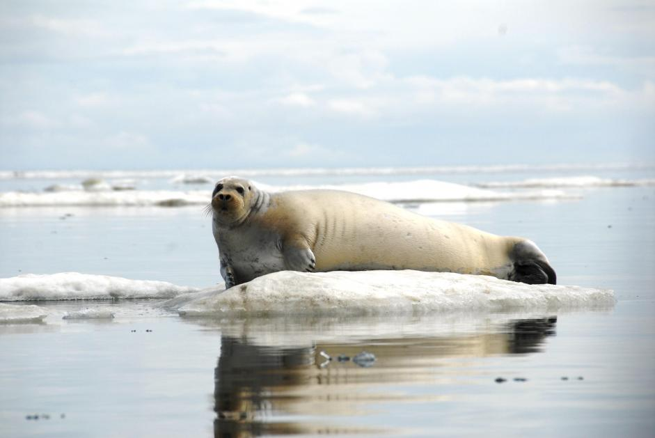 Bearded seal on Alaska sea ice