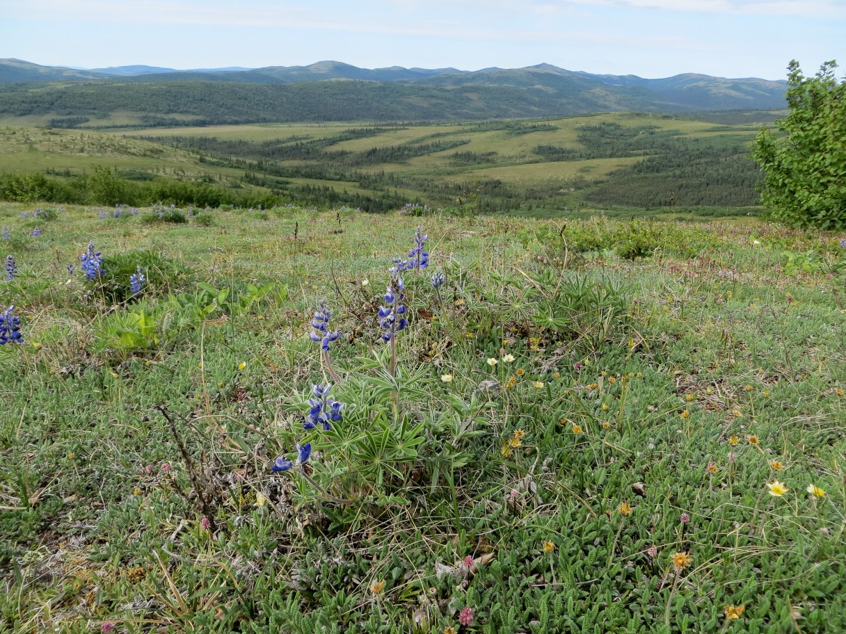 Wildflowers and mountains in Unalakleet. (Photo: Maddie Winchester, KNOM)