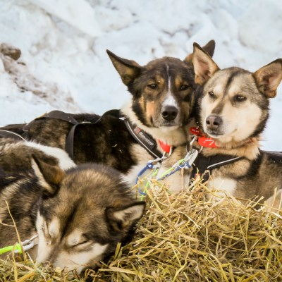 Three sled dogs resting on a bed of straw in Unalakleet