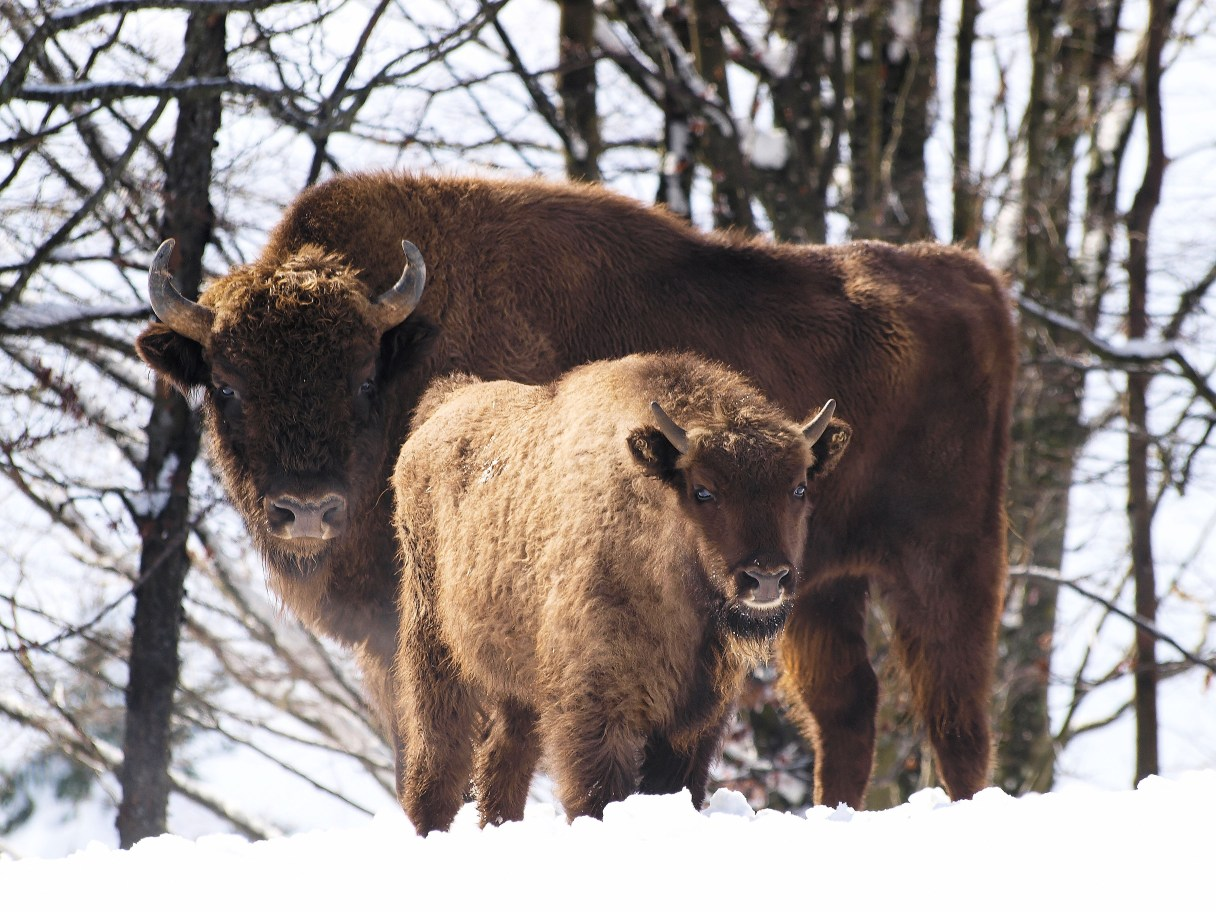 Two bison, an adult and calf, stand against a snowy landscape.