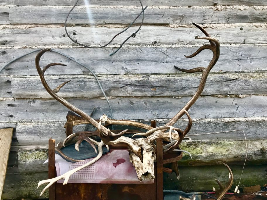 A reindeer skull in front of a wooden shed