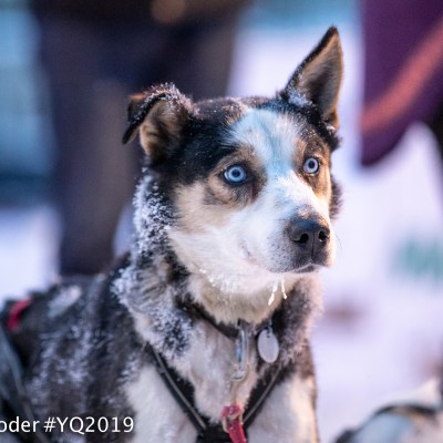 Portrait of a sled dog in harness with blurred background