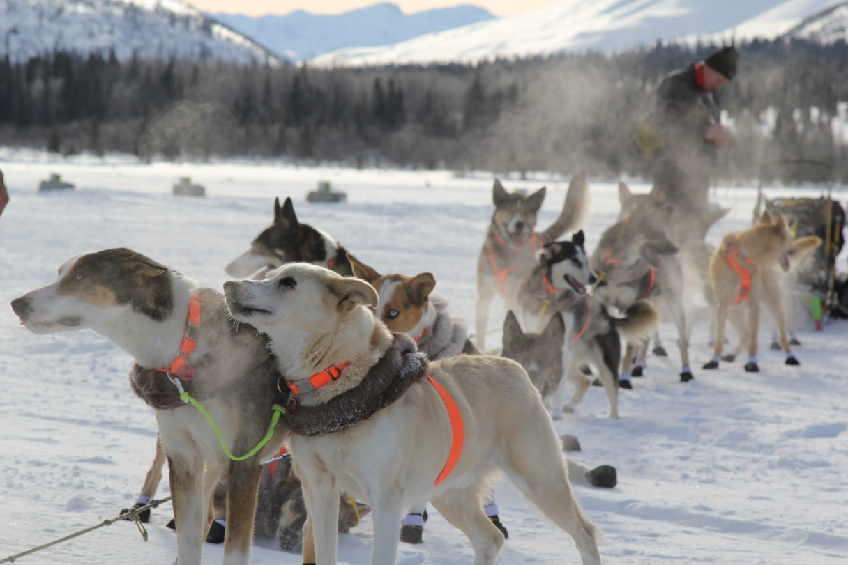 A string of sled dogs stand on the snowy ground