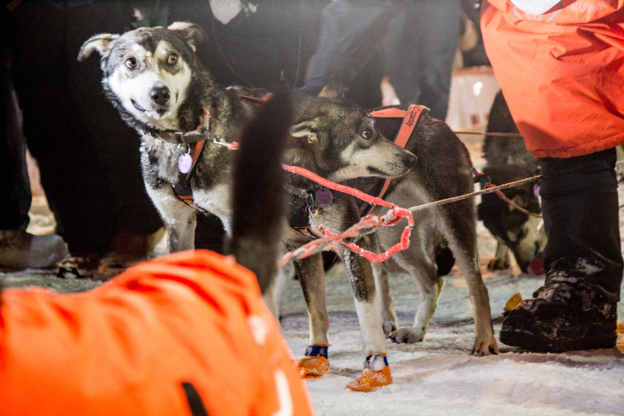 Two curious dogs looking around the finish line of the Iditarod.