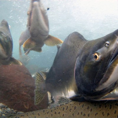 Multiple pink salmon swimming underwater