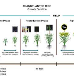 crop calendar irri rice knowledge bank diagram of growing rice [ 1600 x 706 Pixel ]