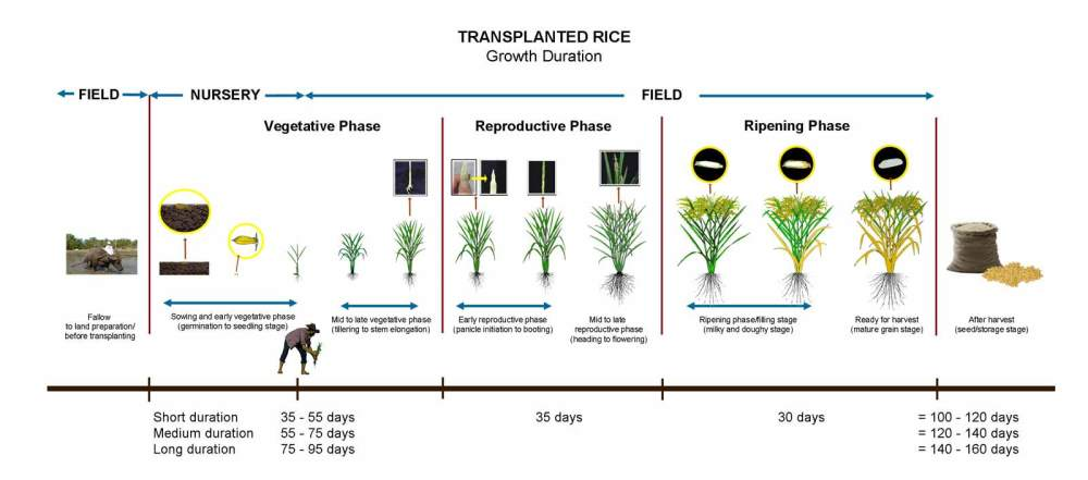 medium resolution of crop calendar irri rice knowledge bank diagram of growing rice