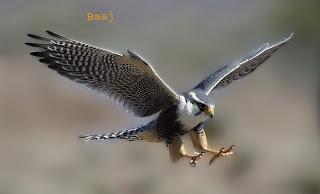 falcon in hindi