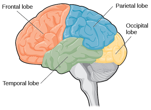 Parietal Lobe - Function, Location, Structure and Related ...