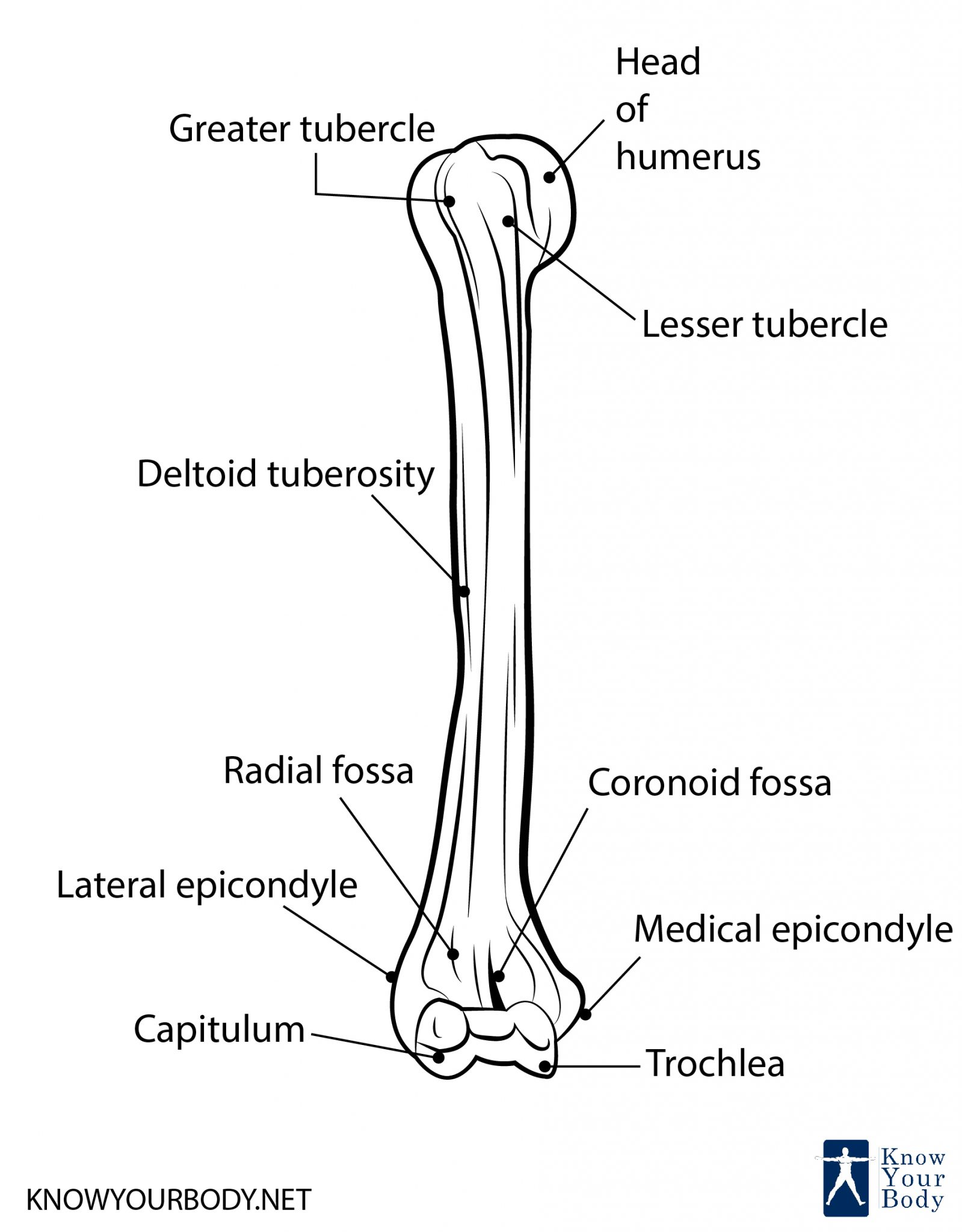 What Is Humerus Bone