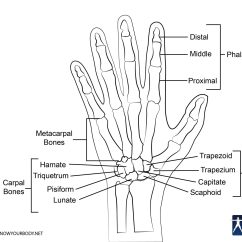 Labeled Diagram Of The Hand Marine Wiring Bones Anatomy Structure And