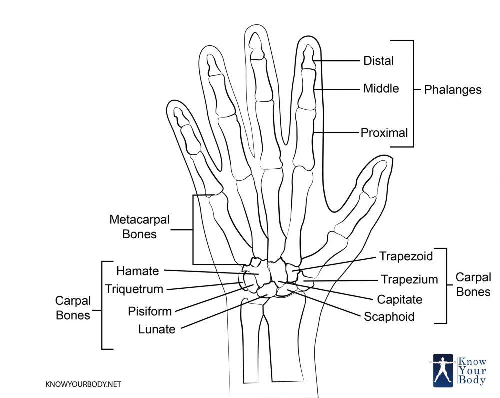 medium resolution of hand bones diagram