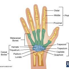 Human Hand Skeleton Diagram 1988 Mazda B2200 Stereo Wiring Bones Anatomy Structure And