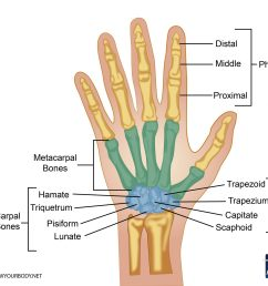 hand bones anatomy structure and diagram back bones diagram finger bones diagram [ 2048 x 1634 Pixel ]