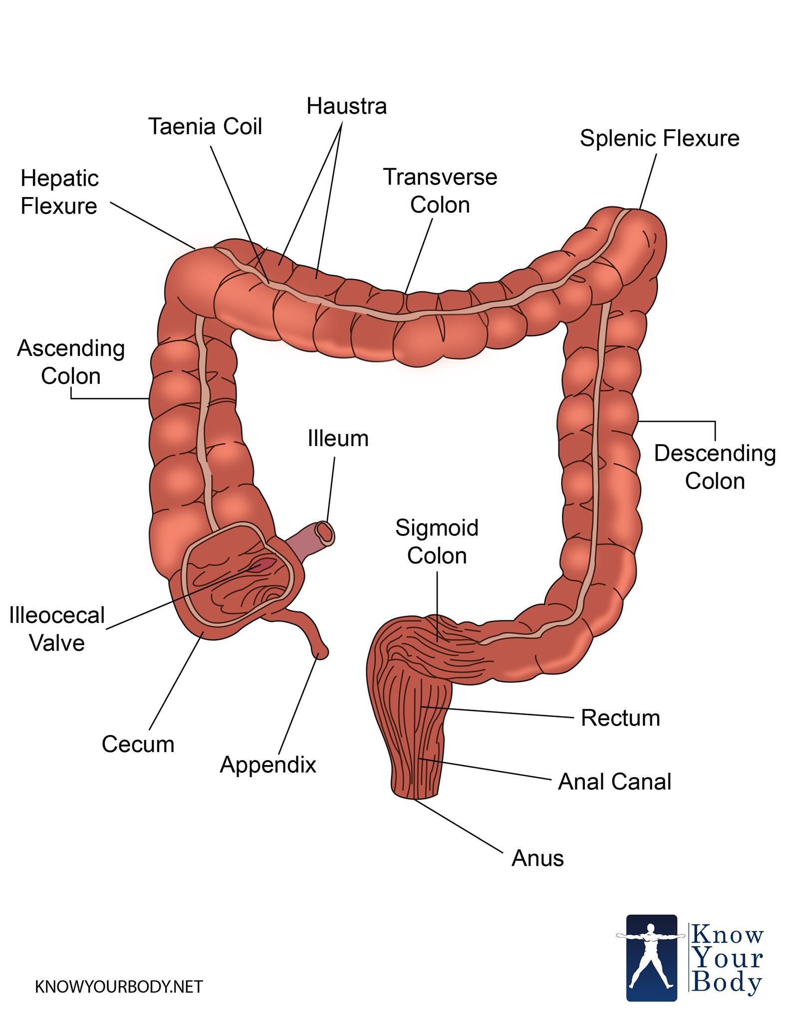 Parts Of Large Intestine Quiz