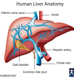 liver location functions anatomy pictures and faqs rh knowyourbody net diagram of liver and spleen diagram of liver in male [ 2048 x 1677 Pixel ]