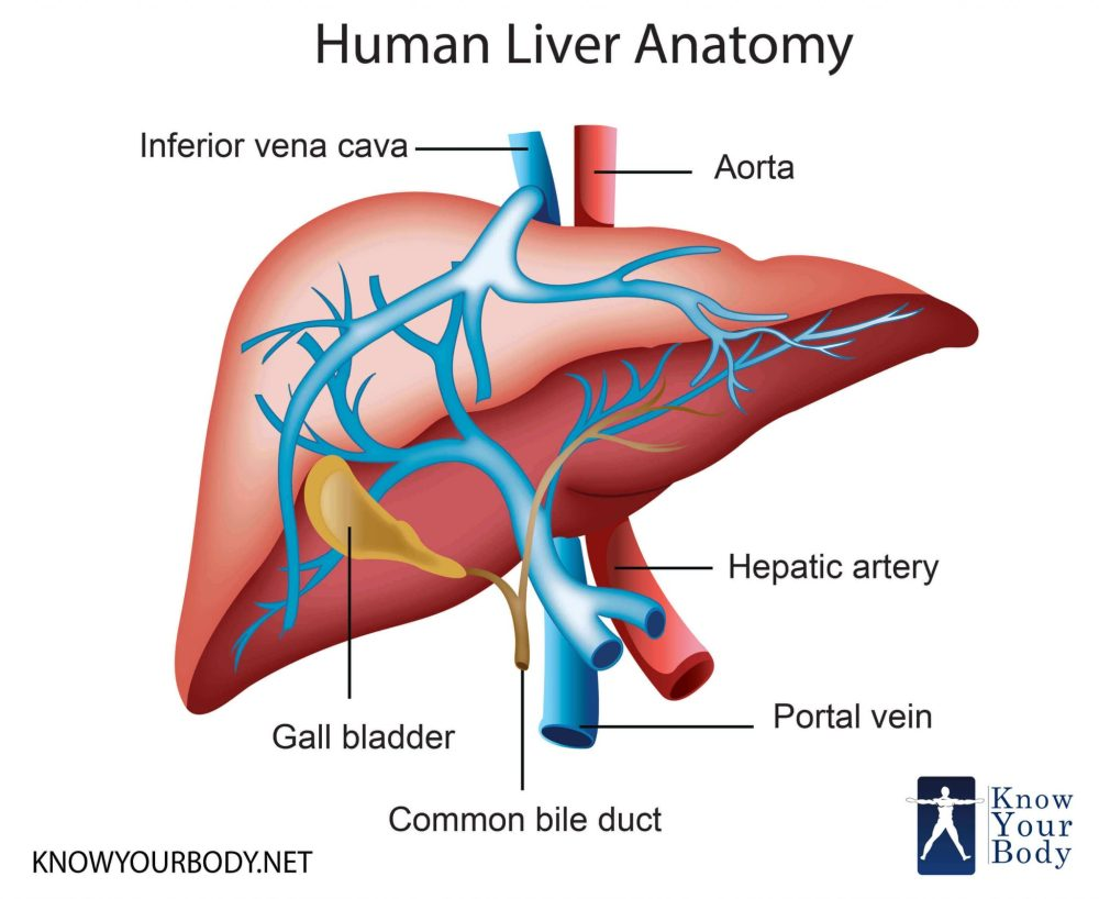 medium resolution of liver location functions anatomy pictures and faqsdiagram of body liver 7