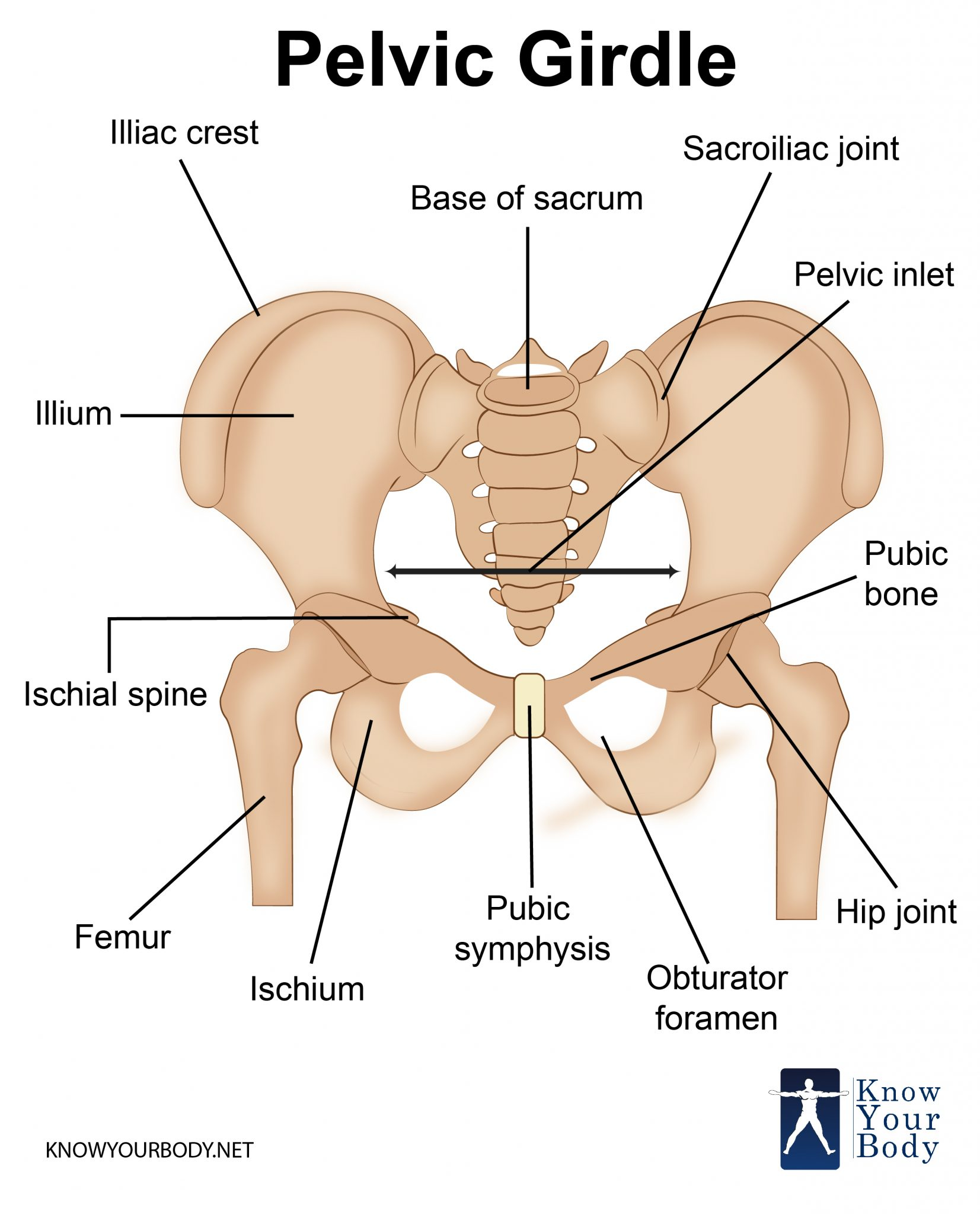 hight resolution of pelvic girdle bones and structure