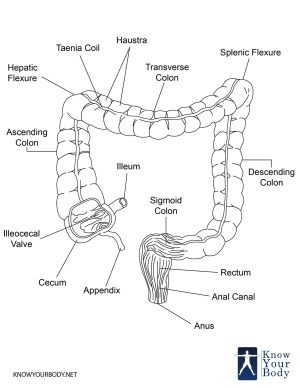 Large Intestine  Function, Parts, Length, Anatomy and FAQs