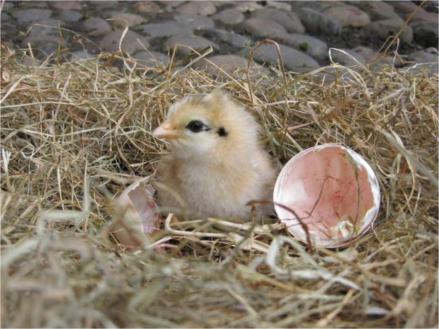 newly hatched chick - Home Farm