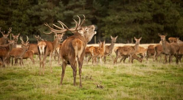 Tatton's deer rut