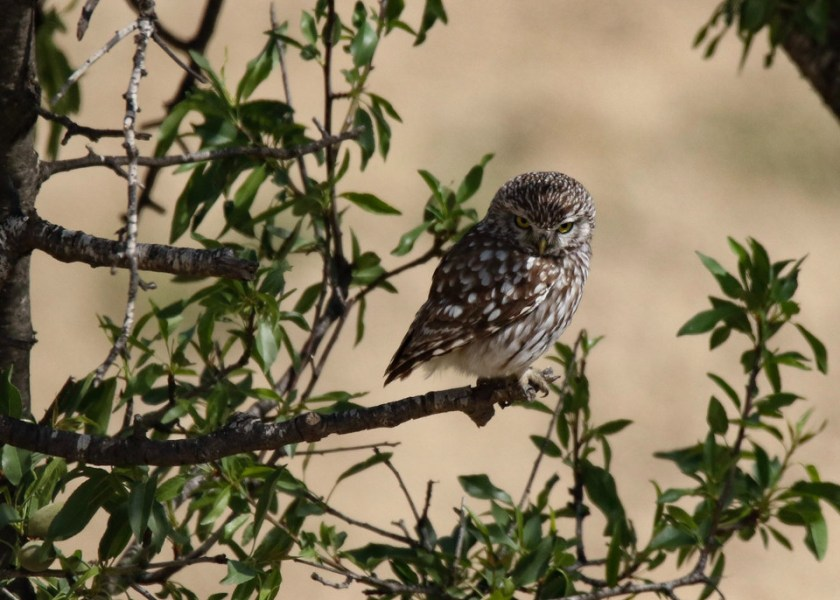 A small owl sitting on a branch in the daytime, looking grumpy.