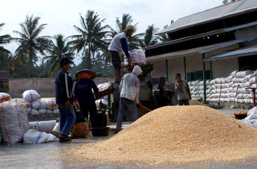 Pemerintah akan Manjakan Petani Jagung dengan Aneka Fasilitas
