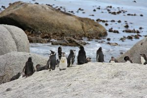 شاطئ البطاريق كيب تاون جنوب افريقيا Boulders Beach