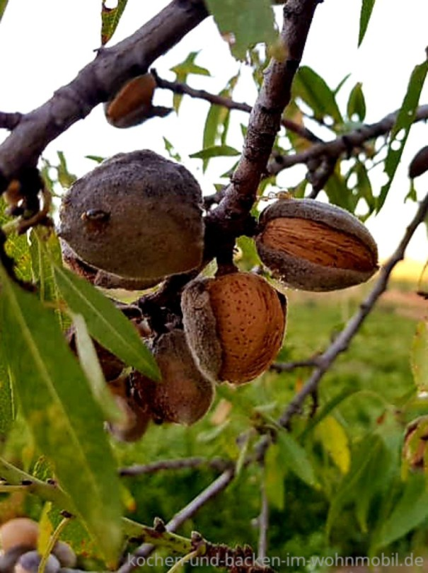 Mandeln am Baum