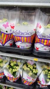 Reisebericht Hollandreise 03-2016   KochTrotz   Kalanchoë