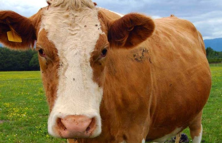 Microbes in cow stomachs can break down plastic