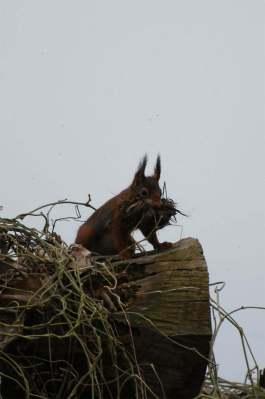 eekhoorn bekje vol klein