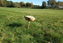 reuzepaddenstoel bij het Lutterzand