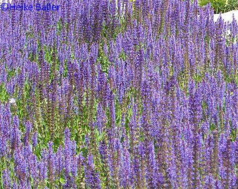 Der - Überraschung! - blaue Garten