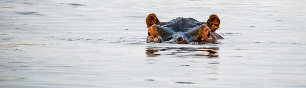 Nijlpaard in Mashi Conservacy