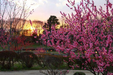 夕日バックに満開の桃の花(木)