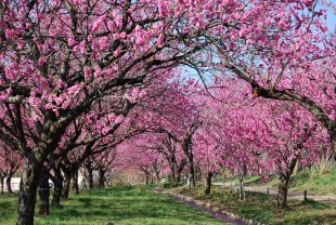桃の開花ピーク時の古河公方公園
