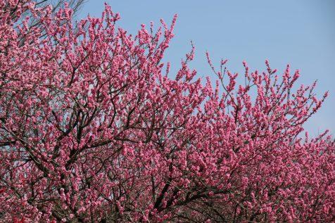 開花ピーク時の桃の花(木々)