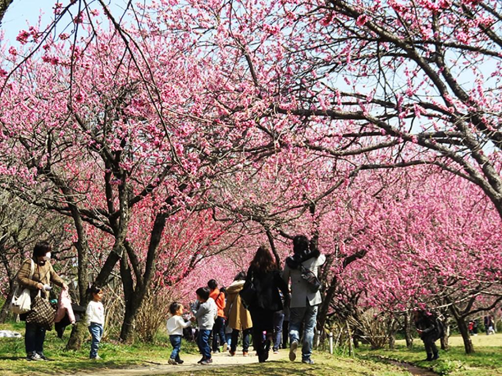 満開の桃と、花見を楽しむ人々