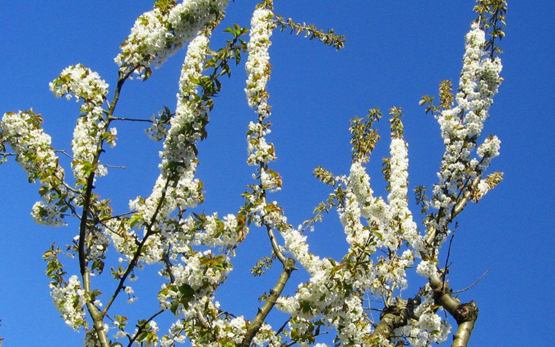 Cherry tree blossoms at Kogawa House
