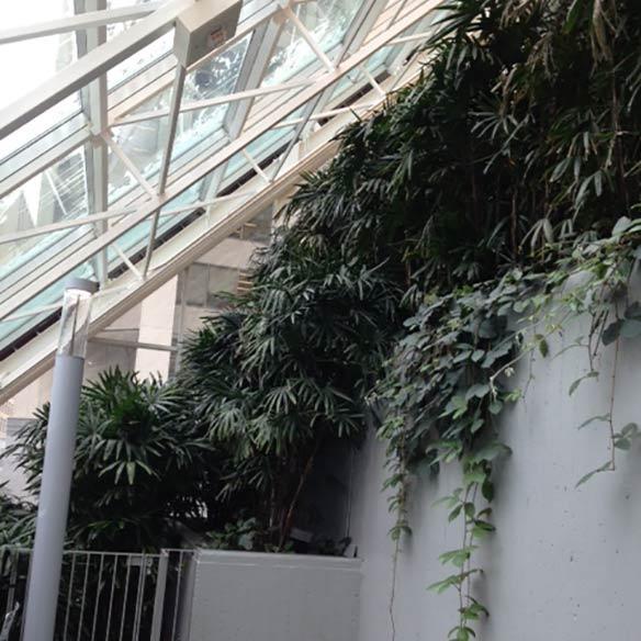 Rhapis Excelsa grown by Kohala on location indoors in Canada